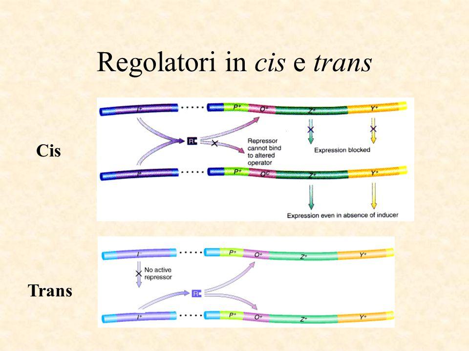 Regolatori in cis e trans Trans Cis