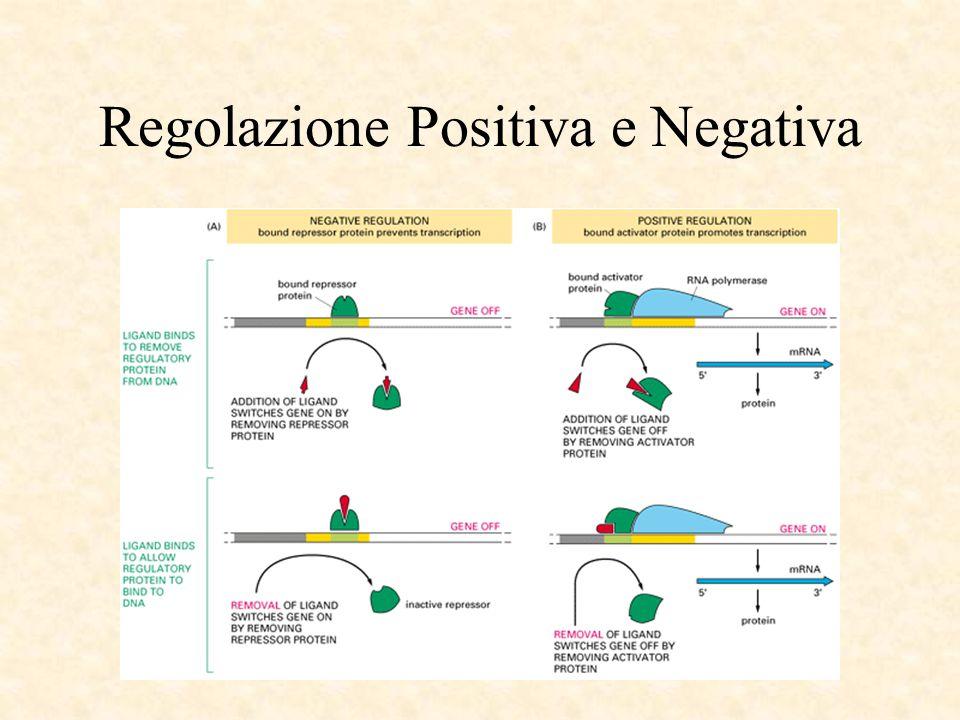 Regolazione Positiva e Negativa