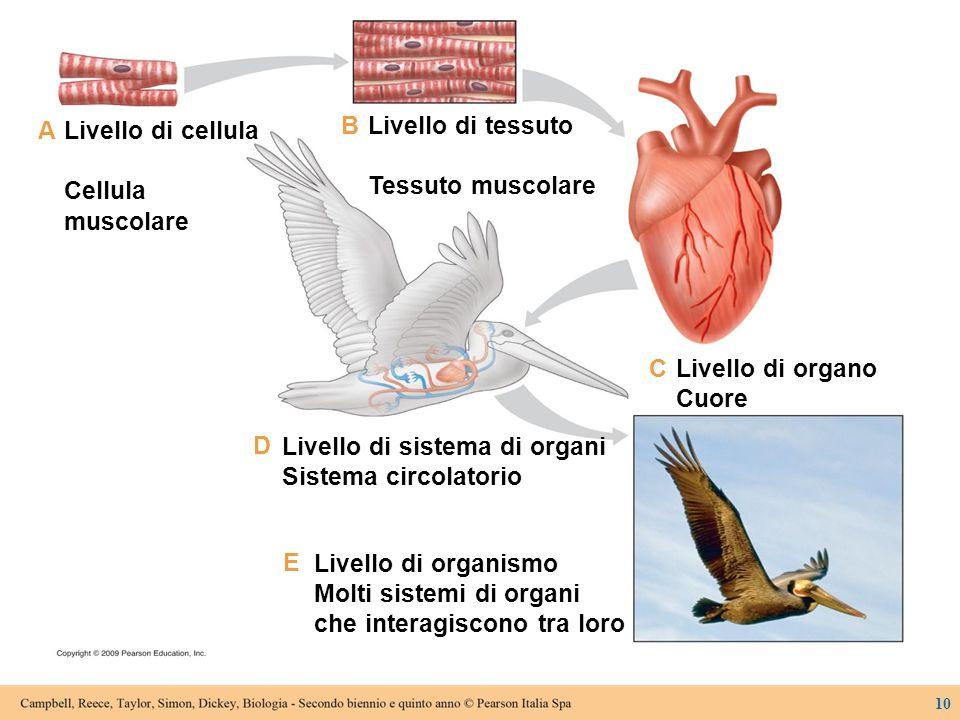 Livello di cellula Cellula muscolare Livello di tessuto Tessuto muscolare Livello di organo Cuore Livello di sistema di organi Sistema circolatorio Li