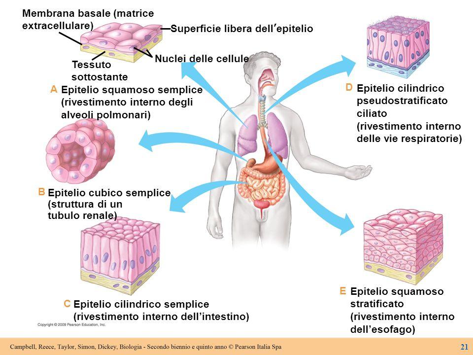 Superficie libera dell'epitelio Nuclei delle cellule Tessuto sottostante Membrana basale (matrice extracellulare) Epitelio squamoso semplice (rivestim