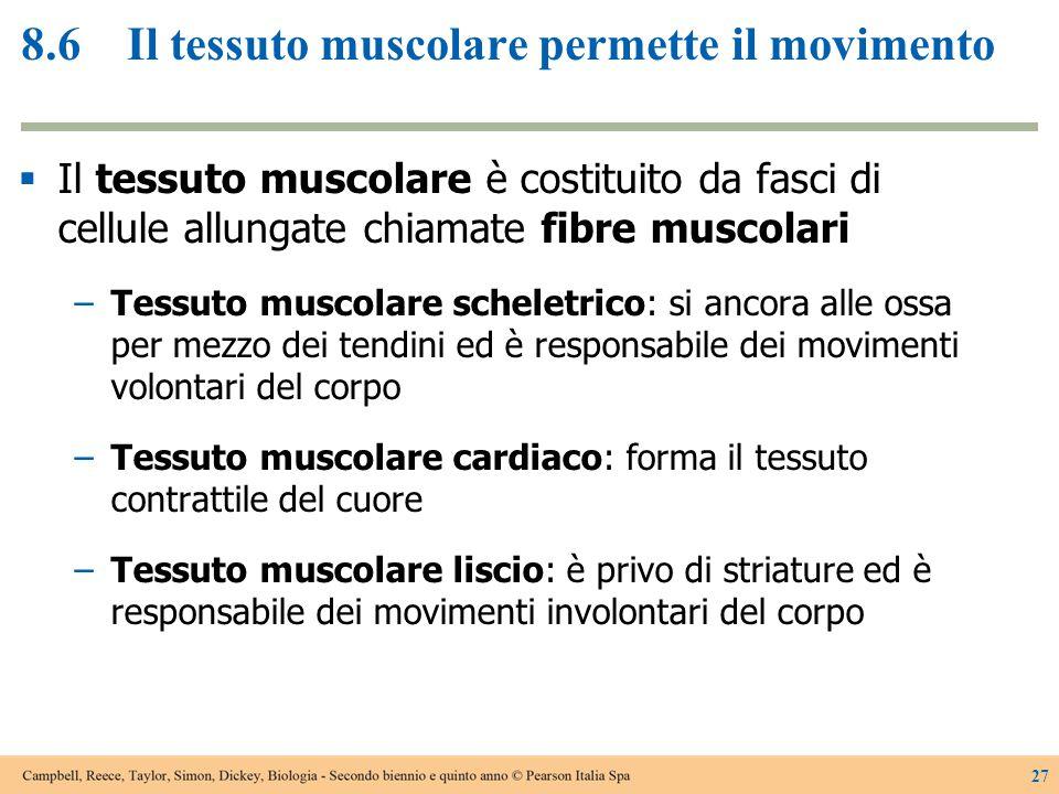 8.6Il tessuto muscolare permette il movimento  Il tessuto muscolare è costituito da fasci di cellule allungate chiamate fibre muscolari −Tessuto musc