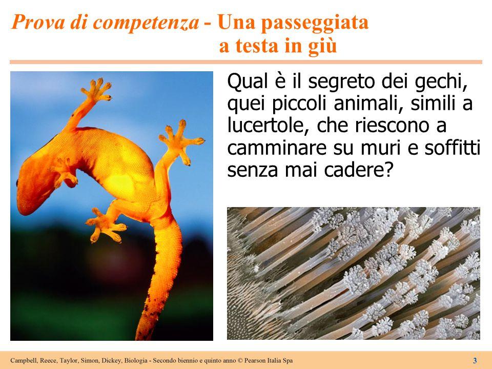 3 Prova di competenza - Una passeggiata a testa in giù Qual è il segreto dei gechi, quei piccoli animali, simili a lucertole, che riescono a camminare