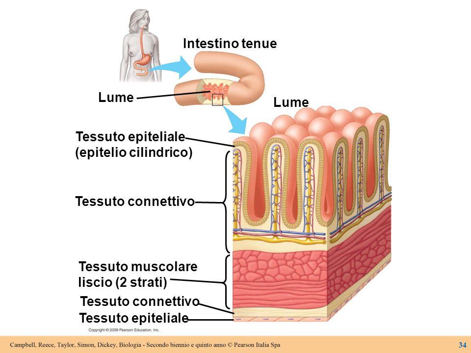 Intestino tenue Lume Tessuto epiteliale Tessuto connettivo Tessuto muscolare liscio (2 strati) Tessuto connettivo Tessuto epiteliale (epitelio cilindr