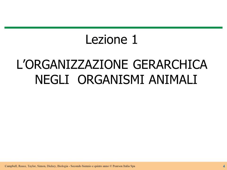 Lezione 1 L'ORGANIZZAZIONE GERARCHICA NEGLI ORGANISMI ANIMALI 4