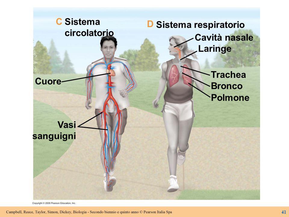 Sistema circolatorio Cuore Vasi sanguigni Sistema respiratorio Cavità nasale Laringe Trachea Bronco Polmone C D 41