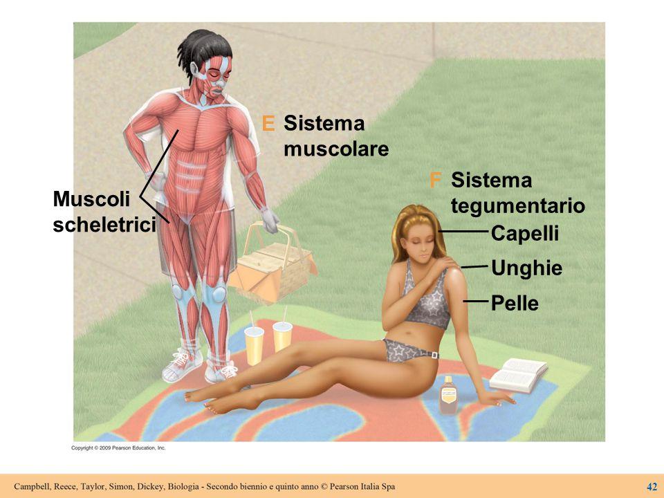 Sistema muscolare Sistema tegumentario Capelli Unghie Pelle Muscoli scheletrici F E 42