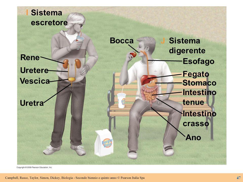 Sistema escretore Esofago Fegato Stomaco Intestino tenue Sistema digerente Intestino crasso Ano Bocca Rene Uretere Vescica Uretra J I 47