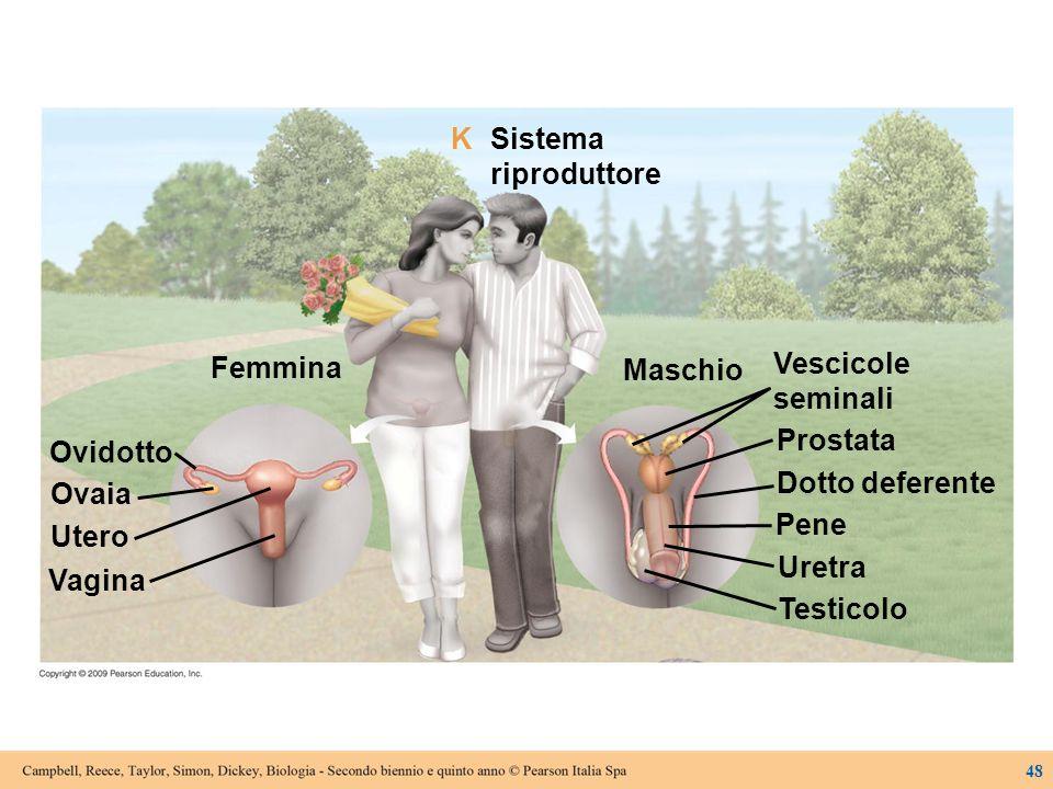 Ovidotto Ovaia Femmina Utero Vagina Maschio Vescicole seminali Prostata Dotto deferente Pene Uretra Testicolo Sistema riproduttore K 48