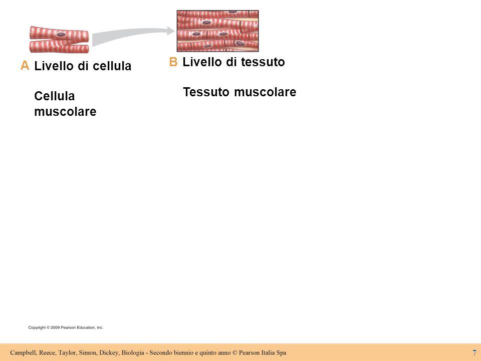 8.3I tessuti sono costituiti da cellule con struttura e funzioni comuni 18  Le cellule di un tessuto sono uguali tra loro e hanno forma e strutture adatte per svolgere funzioni specifiche  Negli animali sono presenti quattro tipi principali di tessuto –Tessuto epiteliale –Tessuto connettivo –Tessuto muscolare –Tessuto nervoso