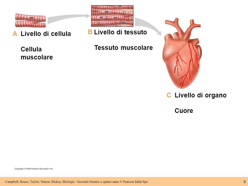 Livello di cellula Cellula muscolare Livello di tessuto Tessuto muscolare Livello di organo Cuore A B C D Livello di sistema di organi Sistema circolatorio 9