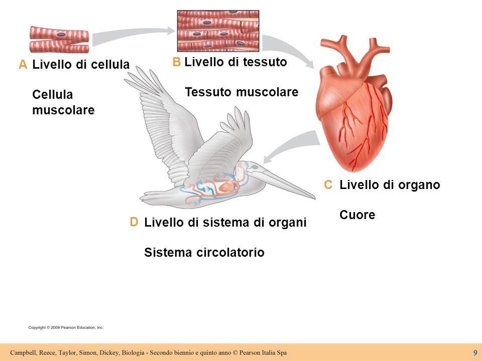 Livello di cellula Cellula muscolare Livello di tessuto Tessuto muscolare Livello di organo Cuore A B C D Livello di sistema di organi Sistema circola