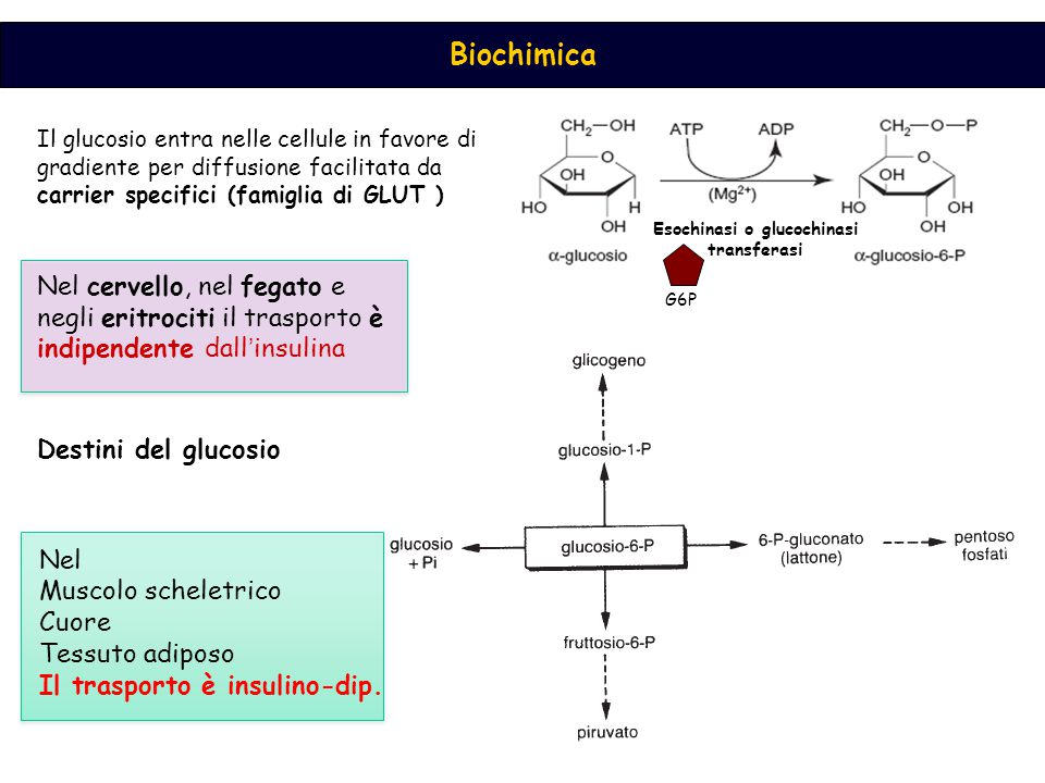 Biochimica Il glucosio entra nelle cellule in favore di gradiente per diffusione facilitata da carrier specifici (famiglia di GLUT ) Nel cervello, nel fegato e negli eritrociti il trasporto è indipendente dall ' insulina Esochinasi o glucochinasi transferasi G6P Destini del glucosio Nel Muscolo scheletrico Cuore Tessuto adiposo Il trasporto è insulino-dip.