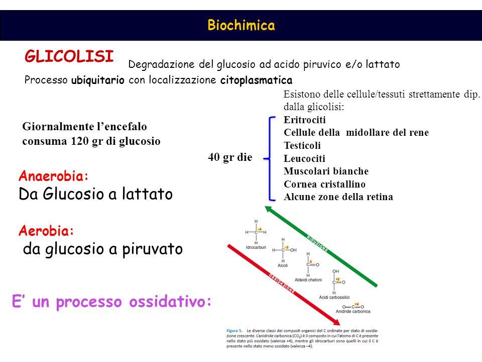 Biochimica GLICOLISI Degradazione del glucosio ad acido piruvico e/o lattato Processo ubiquitario con localizzazione citoplasmatica Esistono delle cellule/tessuti strettamente dip.