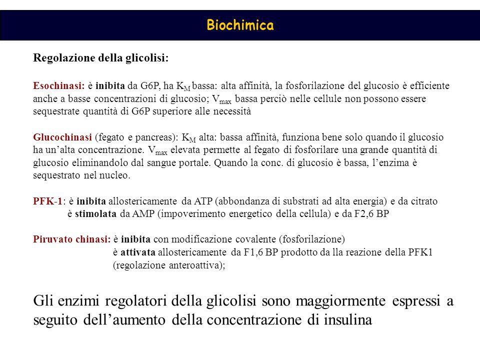 Regolazione della glicolisi: Esochinasi: è inibita da G6P, ha K M bassa: alta affinità, la fosforilazione del glucosio è efficiente anche a basse concentrazioni di glucosio; V max bassa perciò nelle cellule non possono essere sequestrate quantità di G6P superiore alle necessità Glucochinasi (fegato e pancreas): K M alta: bassa affinità, funziona bene solo quando il glucosio ha un'alta concentrazione.