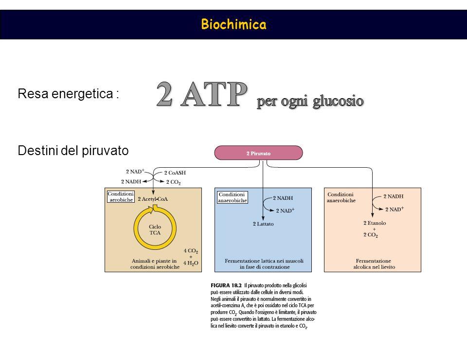 Biochimica Destini del piruvato Resa energetica :