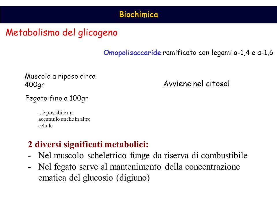 Biochimica Metabolismo del glicogeno Muscolo a riposo circa 400gr Fegato fino a 100gr Omopolisaccaride ramificato con legami α-1,4 e α-1,6 Avviene nel citosol...è possibile un accumulo anche in altre cellule 2 diversi significati metabolici: -Nel muscolo scheletrico funge da riserva di combustibile -Nel fegato serve al mantenimento della concentrazione ematica del glucosio (digiuno)