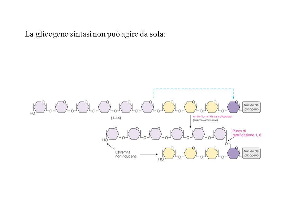 Biochimica La glicogeno sintasi non può agire da sola: