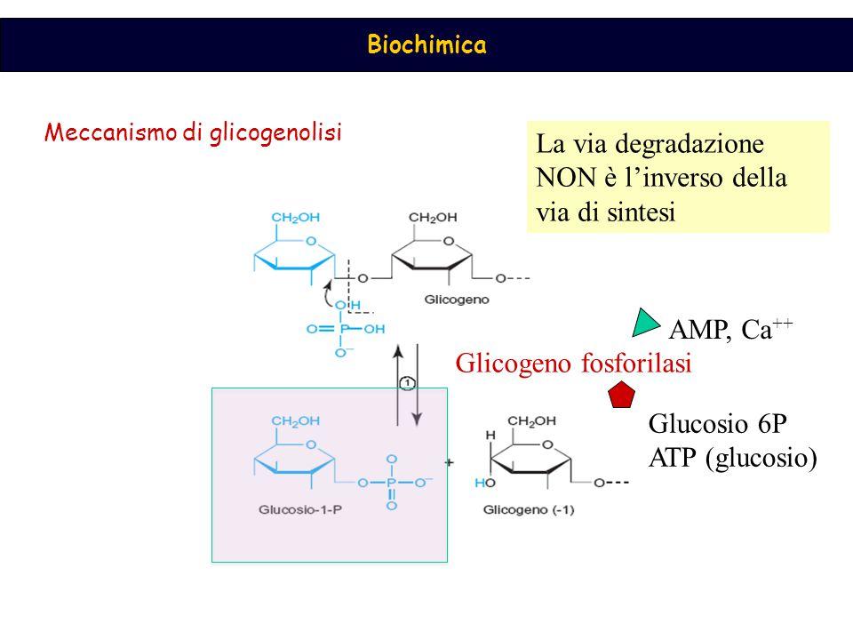 Meccanismo di glicogenolisi Glicogeno fosforilasi Glucosio 6P ATP (glucosio) AMP, Ca ++ La via degradazione NON è l'inverso della via di sintesi