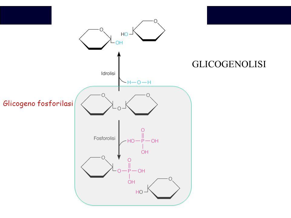 Biochimica Glicogeno fosforilasi GLICOGENOLISI
