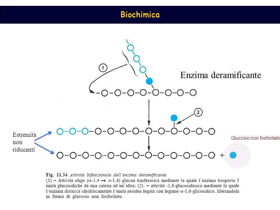 Biochimica Enzima deramificante Estremità non riducenti Glucosio non fosforilato