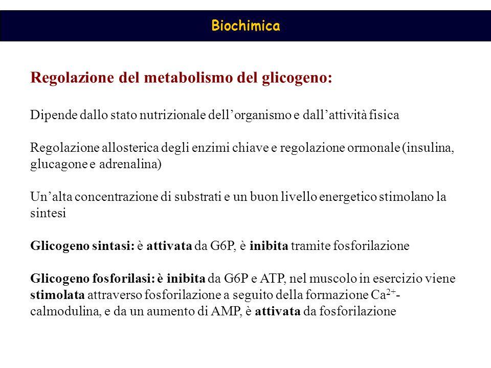 Biochimica Regolazione del metabolismo del glicogeno: Dipende dallo stato nutrizionale dell'organismo e dall'attività fisica Regolazione allosterica degli enzimi chiave e regolazione ormonale (insulina, glucagone e adrenalina) Un'alta concentrazione di substrati e un buon livello energetico stimolano la sintesi Glicogeno sintasi: è attivata da G6P, è inibita tramite fosforilazione Glicogeno fosforilasi: è inibita da G6P e ATP, nel muscolo in esercizio viene stimolata attraverso fosforilazione a seguito della formazione Ca 2+ - calmodulina, e da un aumento di AMP, è attivata da fosforilazione