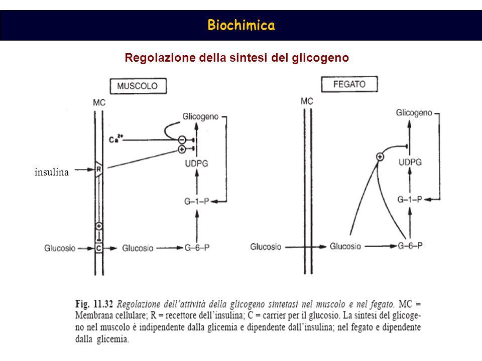 Biochimica Regolazione della sintesi del glicogeno insulina