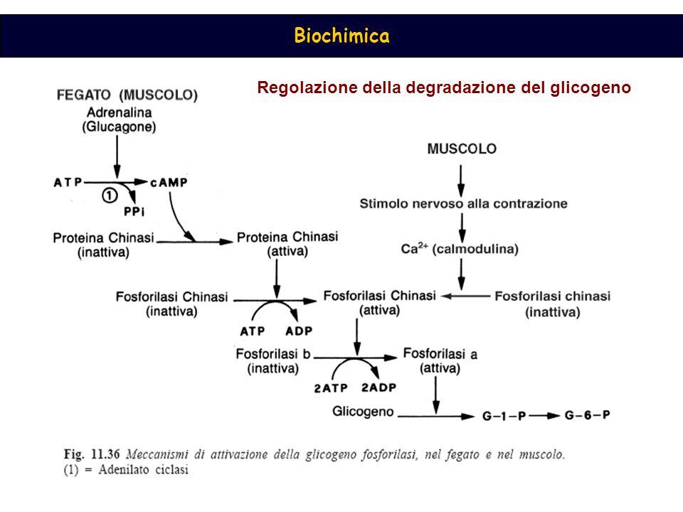Biochimica Regolazione della degradazione del glicogeno