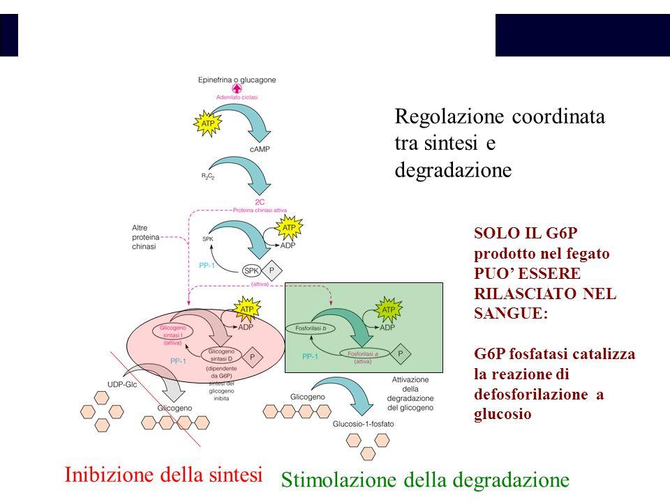 Biochimica Inibizione della sintesi Stimolazione della degradazione Regolazione coordinata tra sintesi e degradazione SOLO IL G6P FORMATO NEL FEGATO PUO' ESSERE RILASCIATO SOLO IL G6P prodotto nel fegato PUO' ESSERE RILASCIATO NEL SANGUE: G6P fosfatasi catalizza la reazione di defosforilazione a glucosio