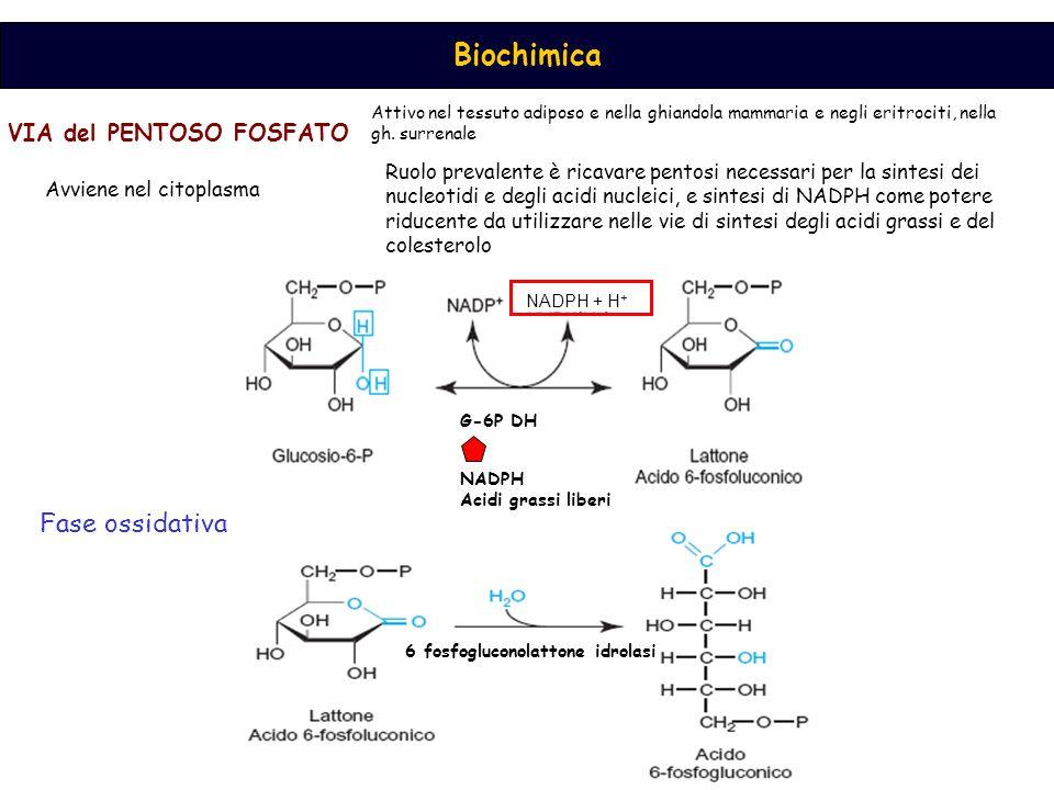 Biochimica VIA del PENTOSO FOSFATO Ruolo prevalente è ricavare pentosi necessari per la sintesi dei nucleotidi e degli acidi nucleici, e sintesi di NADPH come potere riducente da utilizzare nelle vie di sintesi degli acidi grassi e del colesterolo Attivo nel tessuto adiposo e nella ghiandola mammaria e negli eritrociti, nella gh.