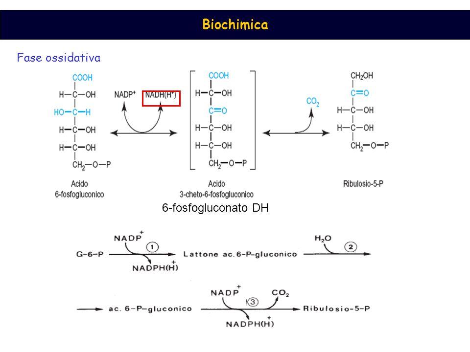 Biochimica Fase ossidativa 6-fosfogluconato DH