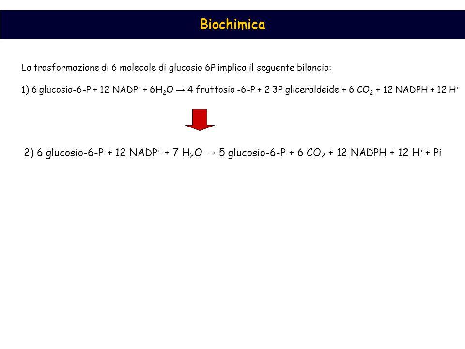 Biochimica La trasformazione di 6 molecole di glucosio 6P implica il seguente bilancio: 1) 6 glucosio-6-P + 12 NADP + + 6H 2 O → 4 fruttosio -6-P + 2 3P gliceraldeide + 6 CO 2 + 12 NADPH + 12 H + 2) 6 glucosio-6-P + 12 NADP + + 7 H 2 O → 5 glucosio-6-P + 6 CO 2 + 12 NADPH + 12 H + + Pi