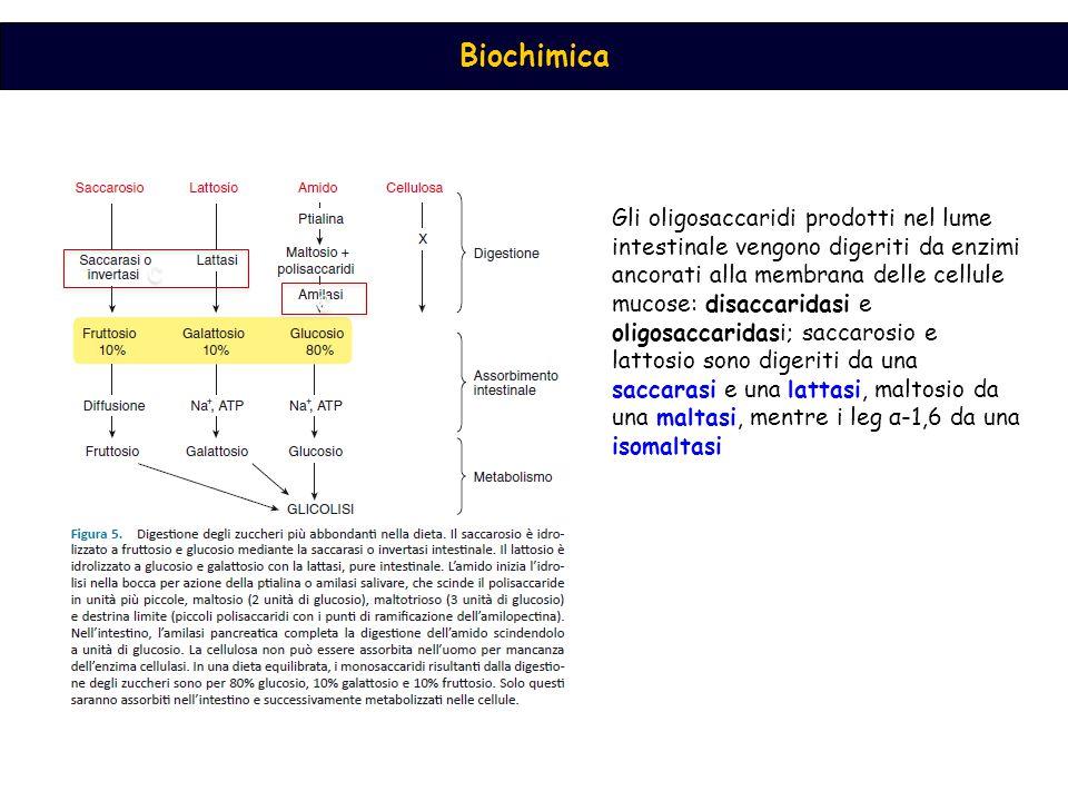 Biochimica c c c c Gli oligosaccaridi prodotti nel lume intestinale vengono digeriti da enzimi ancorati alla membrana delle cellule mucose: disaccaridasi e oligosaccaridasi; saccarosio e lattosio sono digeriti da una saccarasi e una lattasi, maltosio da una maltasi, mentre i leg α-1,6 da una isomaltasi