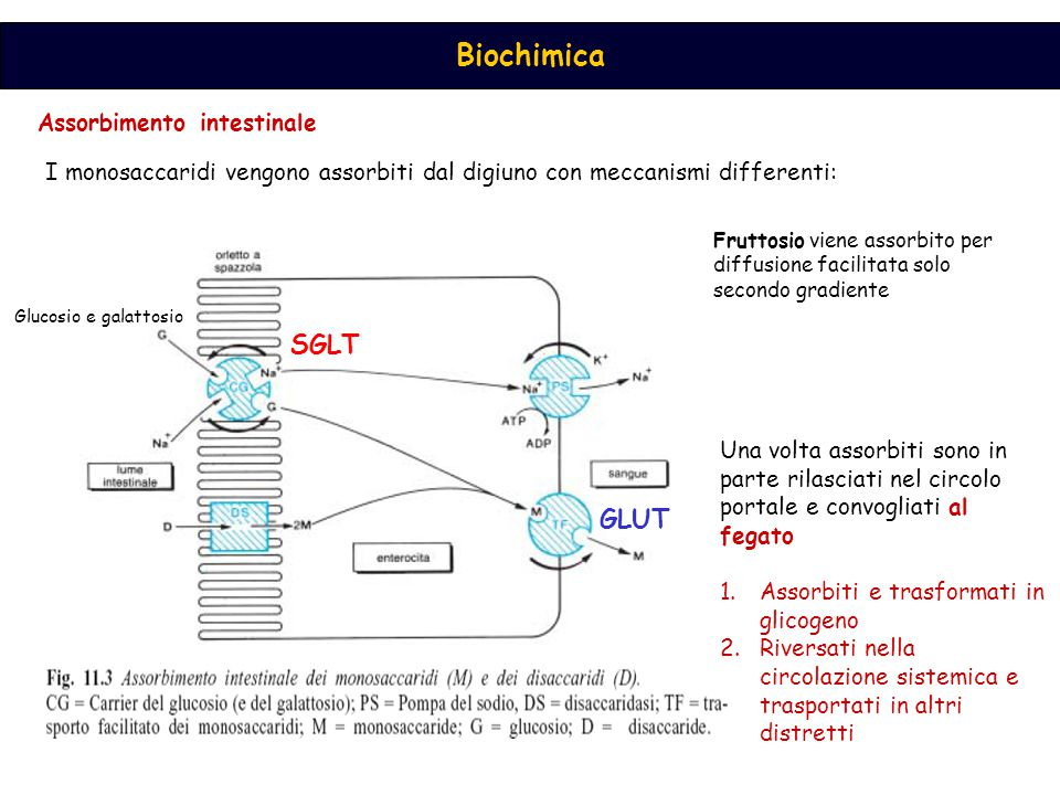 Biochimica Assorbimento intestinale I monosaccaridi vengono assorbiti dal digiuno con meccanismi differenti: Glucosio e galattosio Fruttosio viene assorbito per diffusione facilitata solo secondo gradiente Una volta assorbiti sono in parte rilasciati nel circolo portale e convogliati al fegato 1.Assorbiti e trasformati in glicogeno 2.Riversati nella circolazione sistemica e trasportati in altri distretti SGLT GLUT