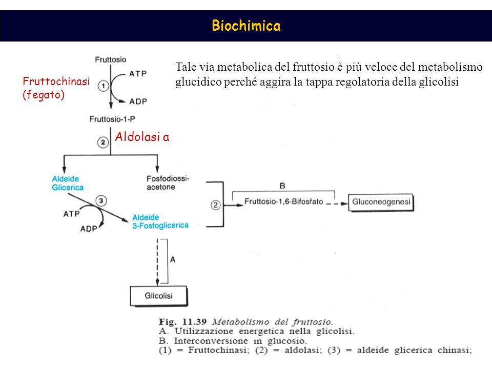 Biochimica Fruttochinasi (fegato) Aldolasi a Tale via metabolica del fruttosio è più veloce del metabolismo glucidico perché aggira la tappa regolatoria della glicolisi