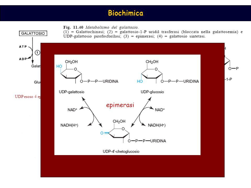 Biochimica galattochinasi UDP esoso 4 epimerasi epimerasi