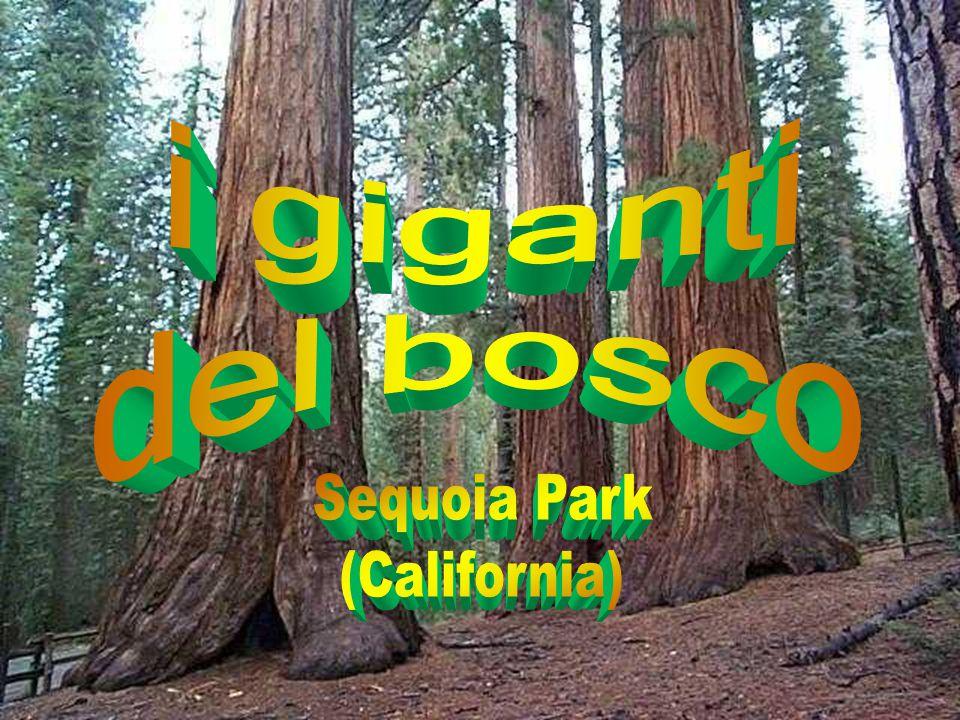 La sequoia è un genere delle cupressacee originario della California e comprende un sola specie vivente: la sequoia della California, l'albero più alt