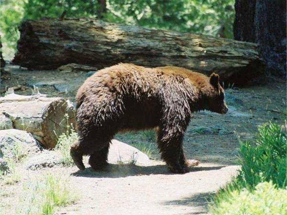 La fauna al Sequoia Park (California)