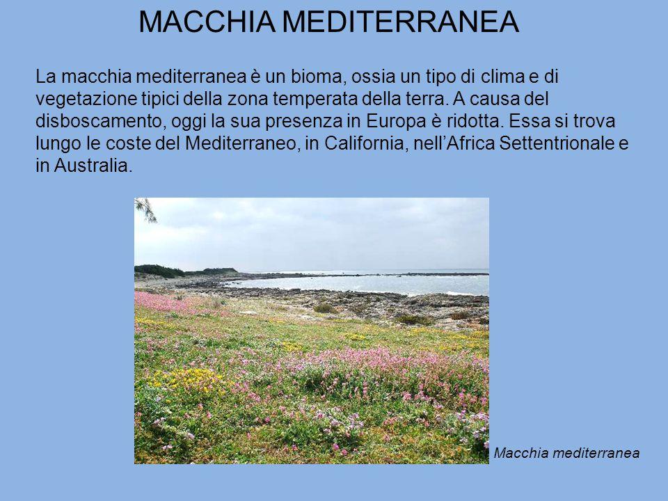 MACCHIA MEDITERRANEA La macchia mediterranea è un bioma, ossia un tipo di clima e di vegetazione tipici della zona temperata della terra.