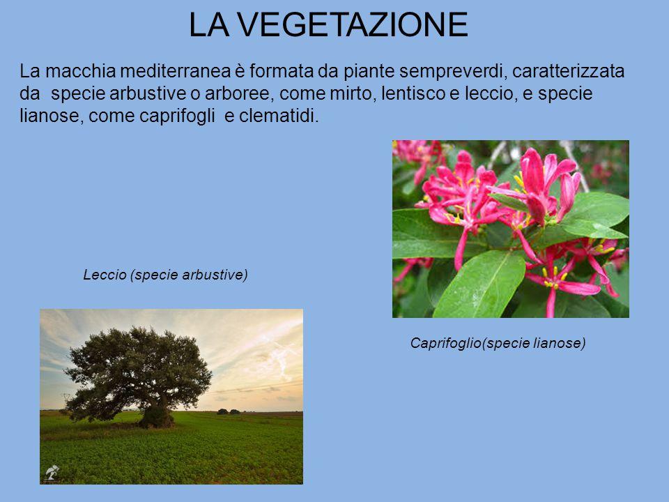 LA VEGETAZIONE La macchia mediterranea è formata da piante sempreverdi, caratterizzata da specie arbustive o arboree, come mirto, lentisco e leccio, e specie lianose, come caprifogli e clematidi.