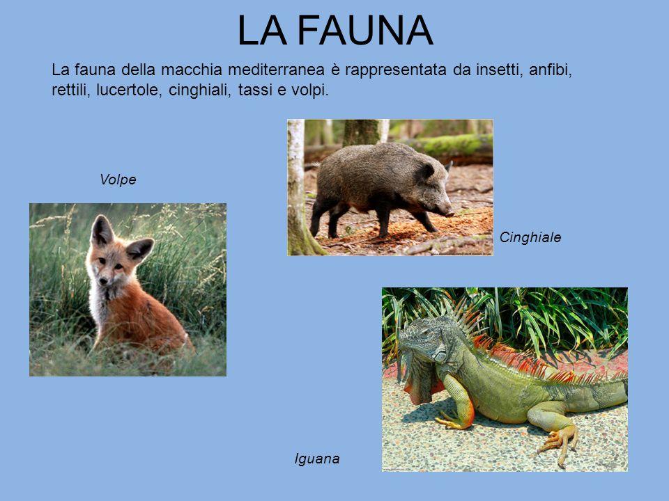 LA FAUNA La fauna della macchia mediterranea è rappresentata da insetti, anfibi, rettili, lucertole, cinghiali, tassi e volpi.