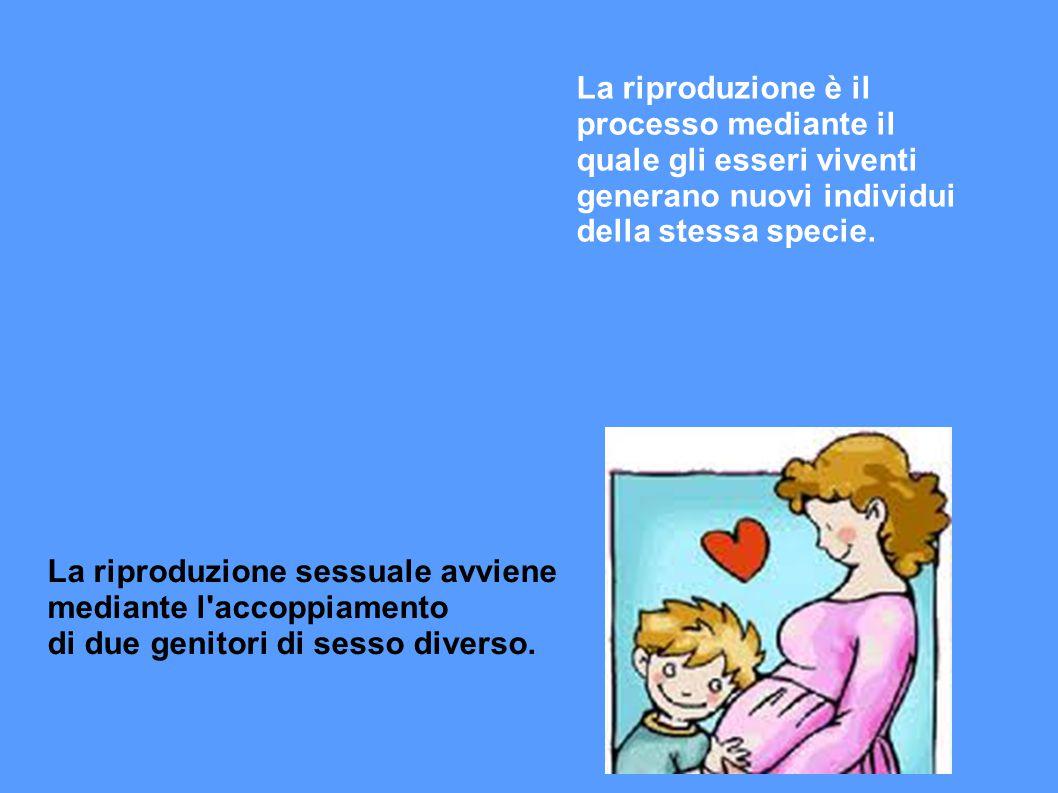 APPARATO RIPRODUTTORE FEMMINILE E' più complesso perchè deve accogliere lo sviluppo del nuovo essere dal concepimento al parto.