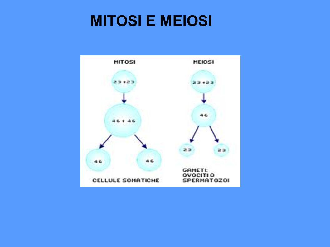 Le cellule somatiche (del corpo) sono diploidi, cioè contengono 23 coppie di cromosomi (46 cromosomi uguali a due a due).