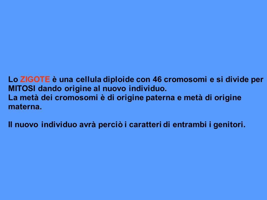 Lo ZIGOTE è una cellula diploide con 46 cromosomi e si divide per MITOSI dando origine al nuovo individuo.