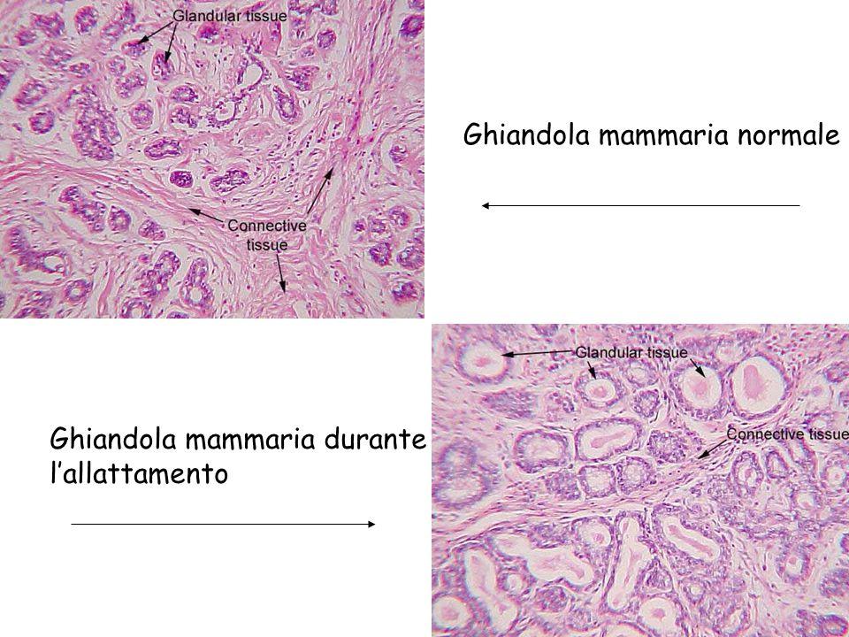 Ghiandola mammaria normale Ghiandola mammaria durante l'allattamento