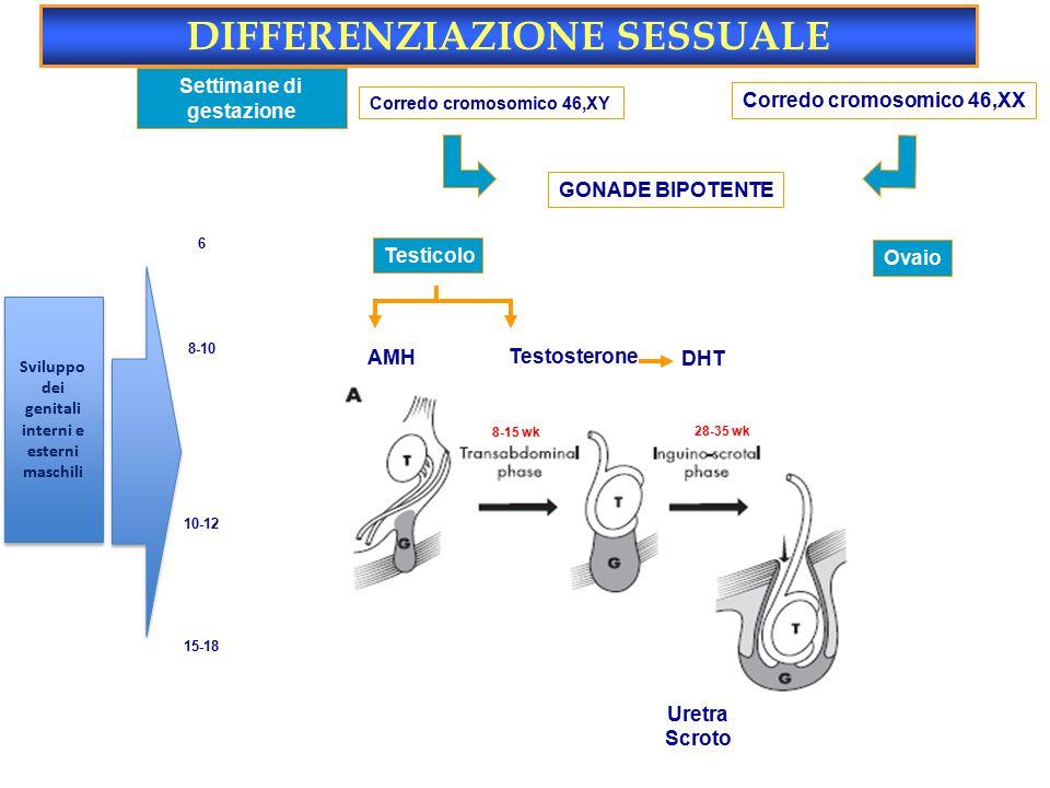 Settimane di gestazione Corredo cromosomico 46,XY Corredo cromosomico 46,XX GONADE BIPOTENTE Testicolo Ovaio AMH Regressione dotti di Müller No utero