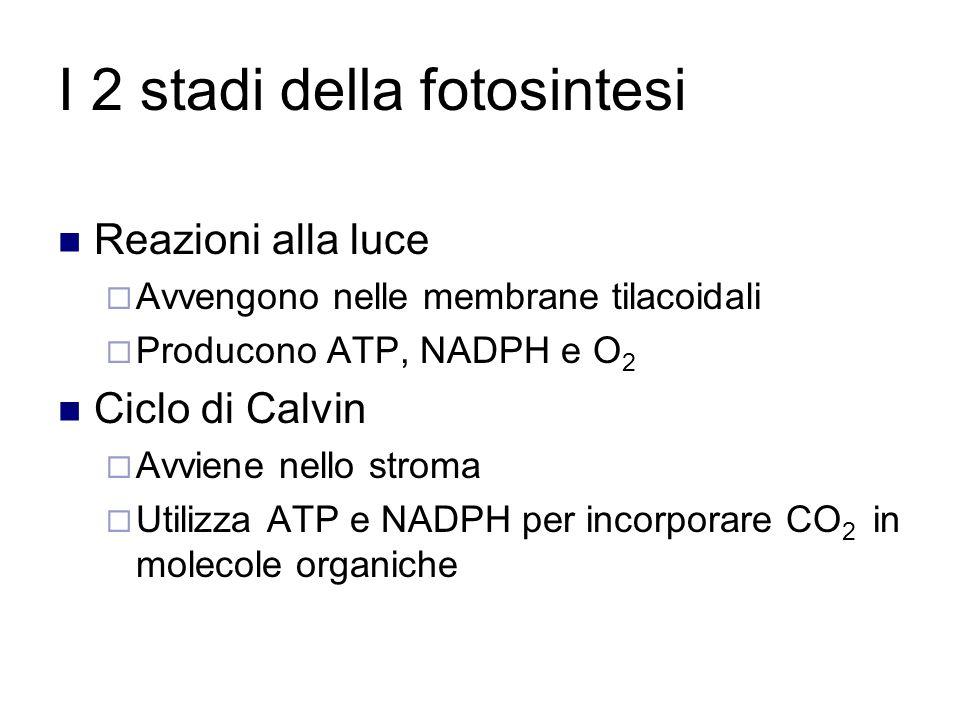 I 2 stadi della fotosintesi Reazioni alla luce  Avvengono nelle membrane tilacoidali  Producono ATP, NADPH e O 2 Ciclo di Calvin  Avviene nello stroma  Utilizza ATP e NADPH per incorporare CO 2 in molecole organiche