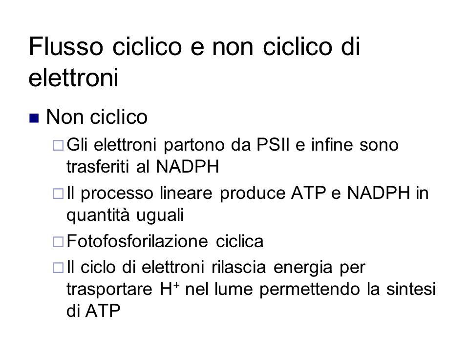 Flusso ciclico e non ciclico di elettroni Non ciclico  Gli elettroni partono da PSII e infine sono trasferiti al NADPH  Il processo lineare produce ATP e NADPH in quantità uguali  Fotofosforilazione ciclica  Il ciclo di elettroni rilascia energia per trasportare H + nel lume permettendo la sintesi di ATP