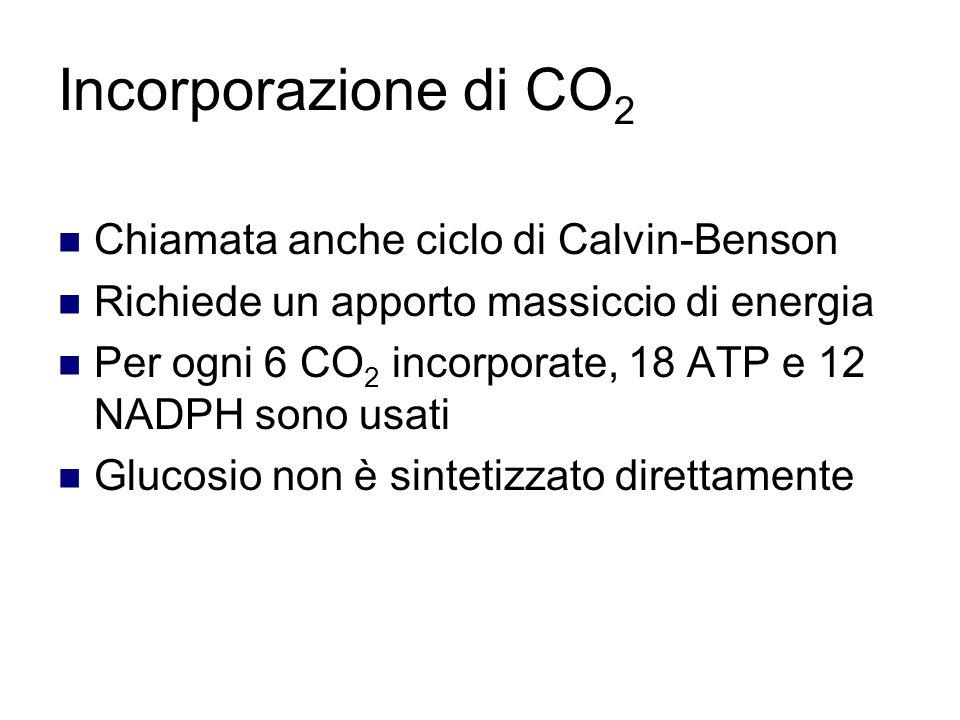 Incorporazione di CO 2 Chiamata anche ciclo di Calvin-Benson Richiede un apporto massiccio di energia Per ogni 6 CO 2 incorporate, 18 ATP e 12 NADPH sono usati Glucosio non è sintetizzato direttamente