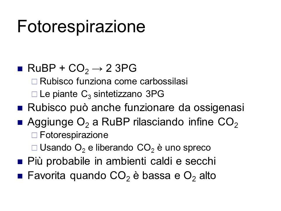 Fotorespirazione RuBP + CO 2 → 2 3PG  Rubisco funziona come carbossilasi  Le piante C 3 sintetizzano 3PG Rubisco può anche funzionare da ossigenasi Aggiunge O 2 a RuBP rilasciando infine CO 2  Fotorespirazione  Usando O 2 e liberando CO 2 è uno spreco Più probabile in ambienti caldi e secchi Favorita quando CO 2 è bassa e O 2 alto