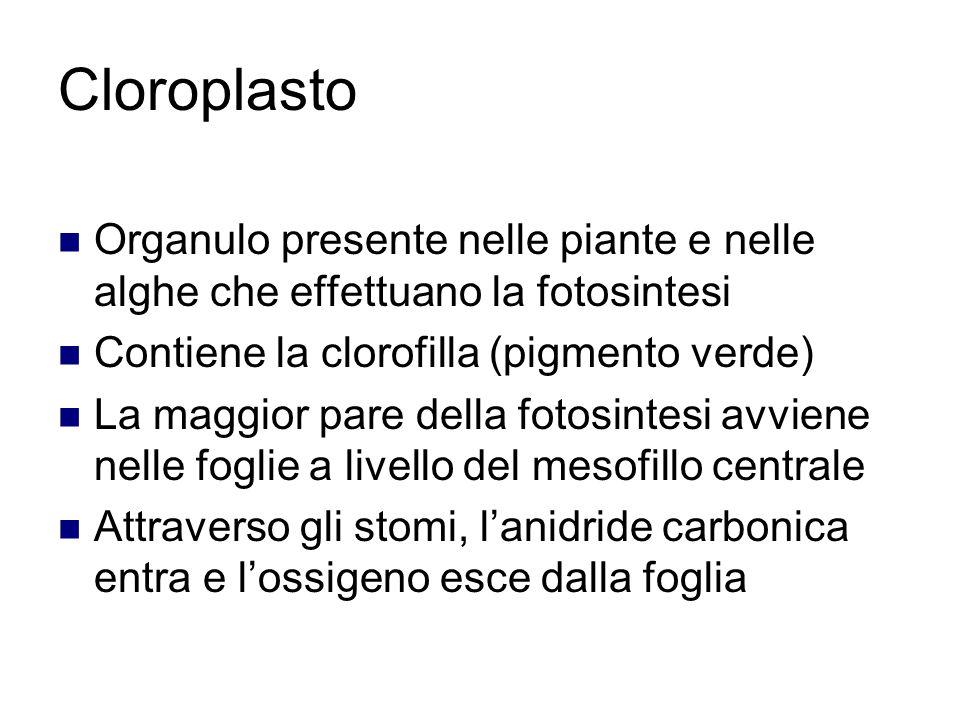 Cloroplasto Organulo presente nelle piante e nelle alghe che effettuano la fotosintesi Contiene la clorofilla (pigmento verde) La maggior pare della fotosintesi avviene nelle foglie a livello del mesofillo centrale Attraverso gli stomi, l'anidride carbonica entra e l'ossigeno esce dalla foglia